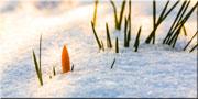 Éveil-du-printemps-neige-bourgeon-crocus-fleur-180