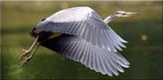 heron-cendre-180